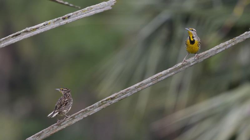 BG-meadowlark